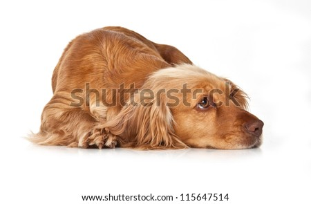 Golden spaniel lying on a white background