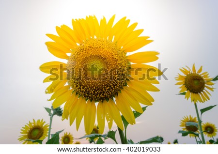 golden sunflower on field and sunset in white background.