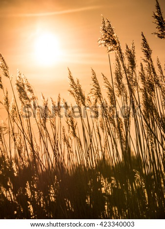 Golden Sunset and reed grass in contra.