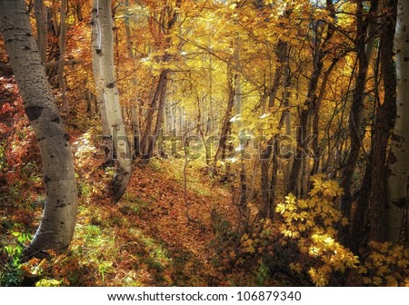 golden sunshine shining into the aspens and oak trees in autumn/ Moving Toward the glow - stock photo