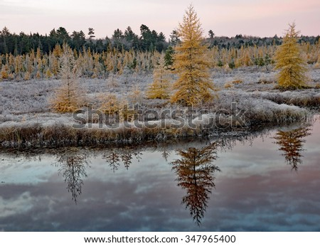 Golden tamarack trees are reflected in the lake during a frosty sunrise
