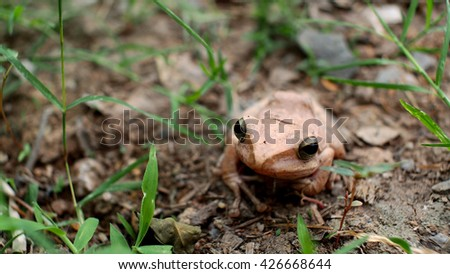 Golden Tree Frog  - stock photo