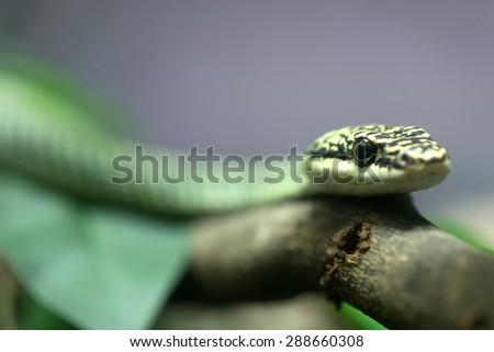 Golden Tree Snake lying on the tree. - stock photo