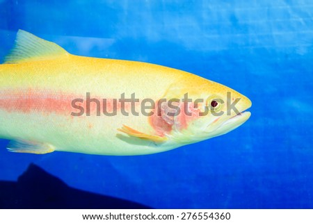 Golden trout, Oncorhynchus mykiss, bred in Tasmania, Australia, originated from rainbow trout. They are not sterile hybrids; but a colour variation of the rainbow trout. Very rare in the wild. - stock photo