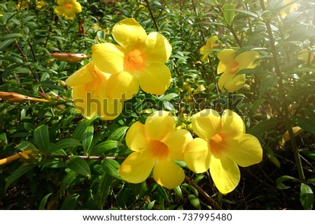 Golden trumpet allamanda cathartica trumpet vine stock photo 100 golden trumpet allamanda cathartica trumpet vine and yellow allamanda is in apocynaceae mightylinksfo