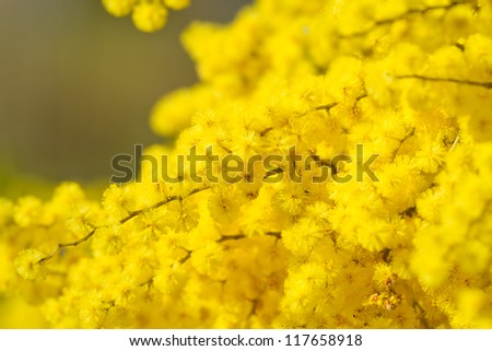 Golden wattle flowers on tree - stock photo