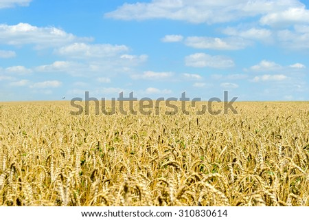 Golden wheat close up against blue sky in sunny summer day