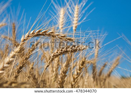 Golden wheat ear closeup on field and blue sky background. Harvest and farming concept. Agricultural business