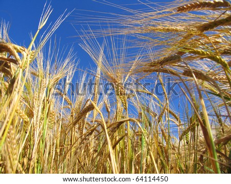 Golden wheat ears contrasting with bright blue sky