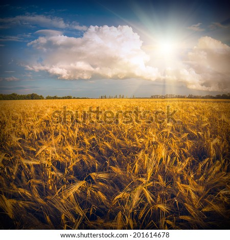 Golden wheat field after the rain with beautiful clouds  - stock photo