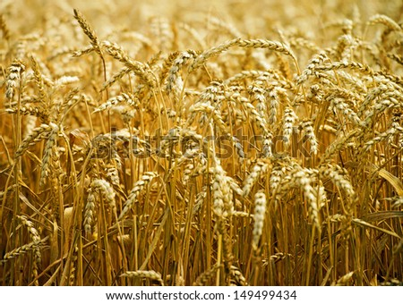 golden wheat field / agriculture - stock photo
