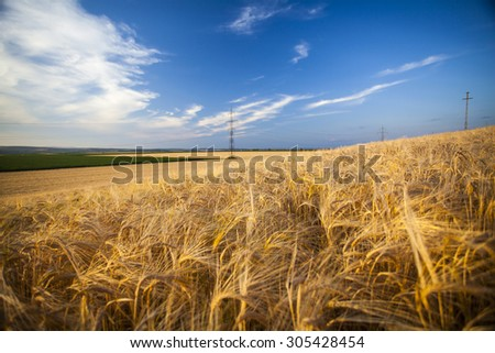 Golden wheat field and blue sky in the sunset - stock photo