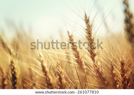 golden wheat field and sunny day - stock photo