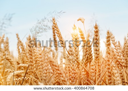 Golden wheat field and sunny day. Selektive Grip. - stock photo