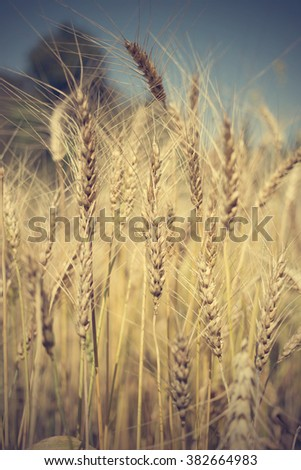 golden wheat field and sunny day, vintage style