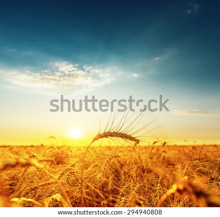 golden wheat field and sunset. soft focus on bottom of picture - stock photo