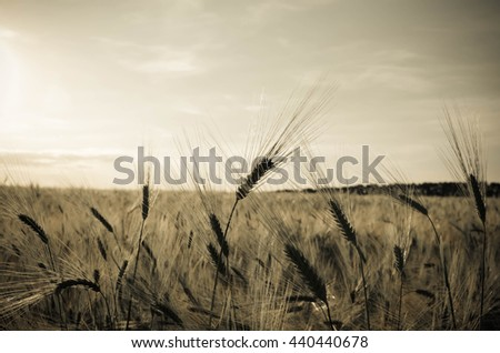 golden wheat field and the sky at sunny day