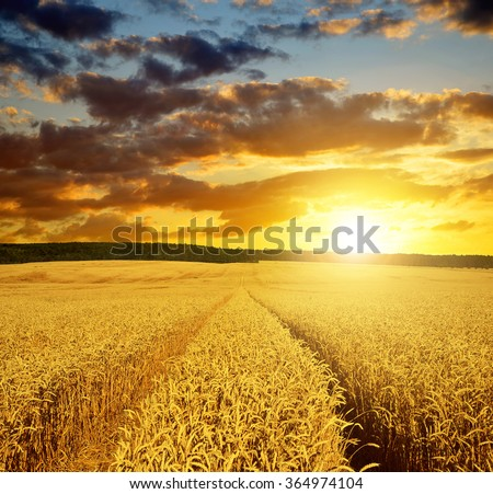 Golden wheat field at sunset