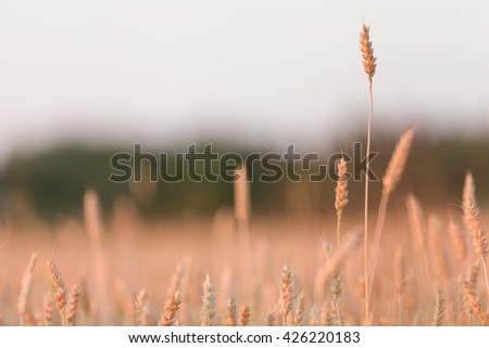 Golden wheat field at sunset. backdrop of ripening ears of yellow wheat field on the sunset background. Good harvest.