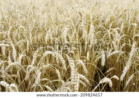 Golden wheat field  background with selective focus
