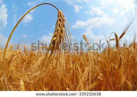 Golden wheat field close up - stock photo