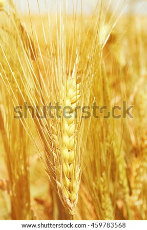 Golden wheat field, close up