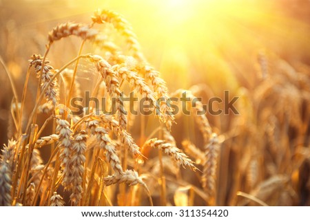 Golden wheat field. Ears of wheat close up. Beautiful Nature Sunset Landscape. Rural Scenery under Shining Sunlight. Background of ripening ears of meadow wheat field. Rich harvest Concept - stock photo