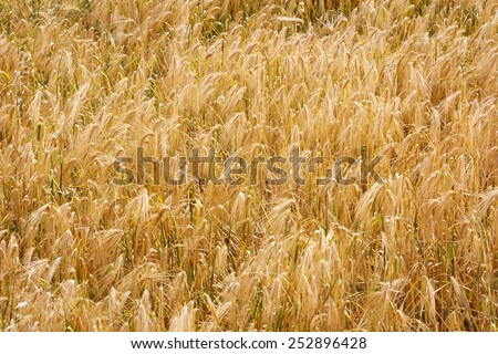 Golden wheat field in autumn in Tibet, China