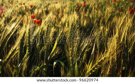 golden wheat field in summer time. - stock photo