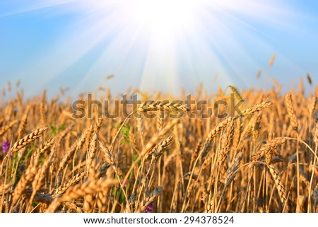 Golden wheat field in sunny day, agricultural industry