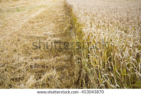 Golden wheat field in sunny day background