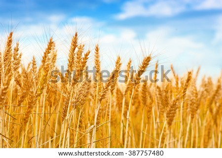 Golden wheat field in the blue sky