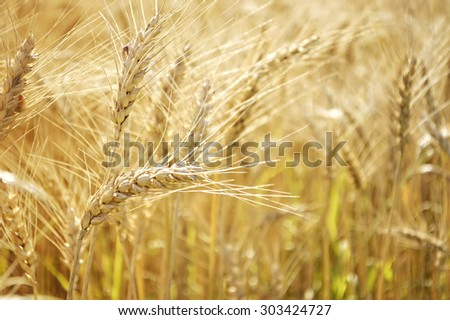 Golden wheat field in the summer