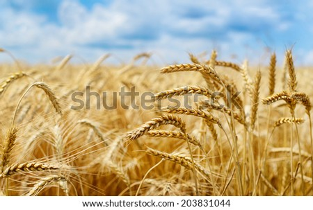 Golden wheat field on summer day.Photo taken on: July 9, 2014 - stock photo