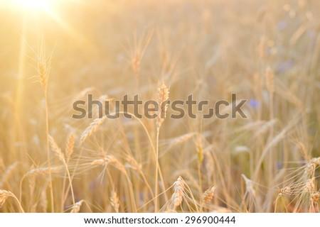Golden wheat field on sunny day outdoors - stock photo
