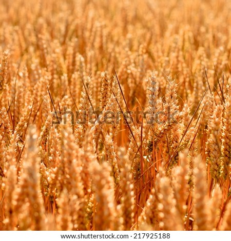 Golden wheat field texture growing in the Summer before harvest in rural England. Square close up of the wheat seeds with glowing warm evening sun - stock photo