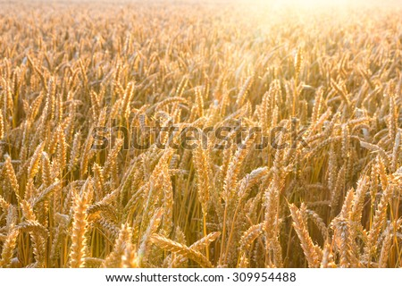 golden wheat field with sun rays. can be used for agriculture and harvest themes - stock photo