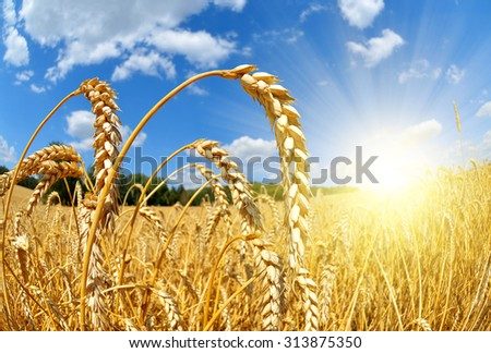 Golden wheat field with sunny sky close up - stock photo