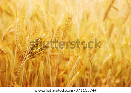 Golden wheat field with the sun shine