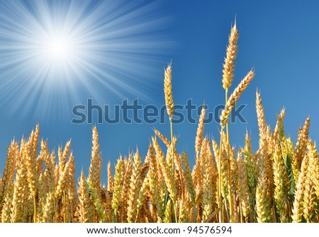 golden wheat in the blue sky background - stock photo
