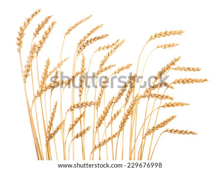 Golden wheat isolated on a white background. - stock photo