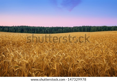 golden wheat on field, agricultural concept