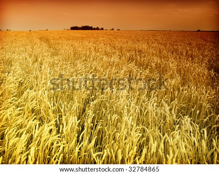 golden wheat,sunset