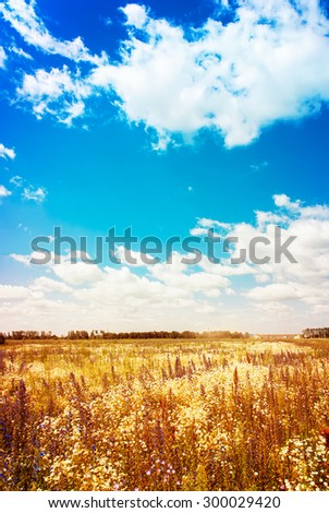 Golden Wild Field and Blue Sky with Sunlight. Clouds on Sky in Summer Day - stock photo