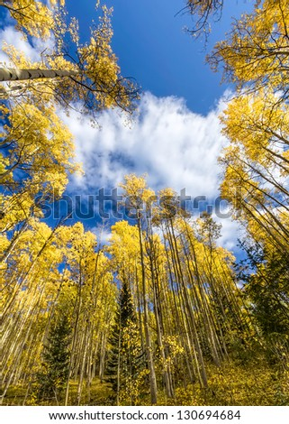 Golden yellow aspen forest in Santa Fe Ski Basin, New Mexico - stock photo