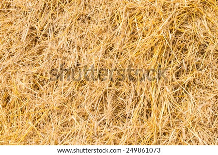 Golden yellow straw dried to perfection. Sunny day.
