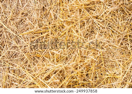 Golden yellow straw dried to perfection. Sunny day. - stock photo