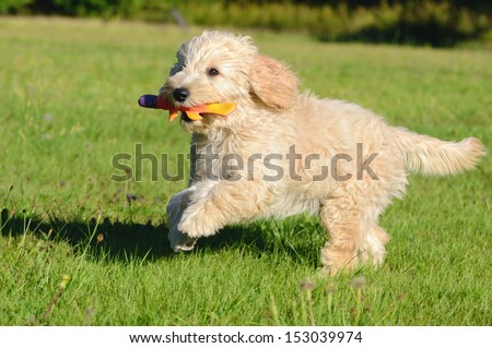 Goldendoodle Dog puppy 3 months designer dog, Poodle , Golden Retriever,  - stock photo