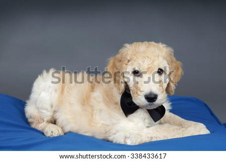 Goldendoodle puppy with black bow tie on blue and grey