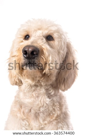 Goldendoole looking up as if she is thinking.  Isolated on a white background. - stock photo